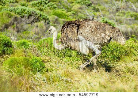Ostrich In The Wild