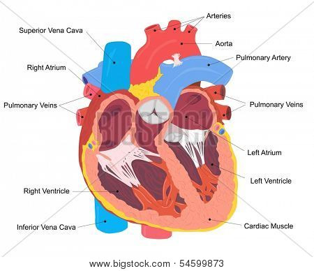 Human Heart Cross Section