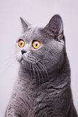 picture of portrait british shorthair cat  - Portrait of gray shorthair British cat with bright yellow eyes on a white background - JPG