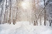 stock photo of birchwood  - Winter scenic of Birchwood in mountains with snowfall in Kazakhstan - JPG