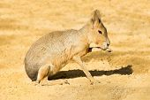 stock photo of rabbit hole  - Mara or Patagonian hare  - JPG
