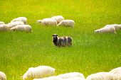 stock photo of herd  - Black sheep in the herd of white animals - JPG