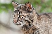 foto of bobcat  - Bobcat Kitten  - JPG