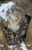 foto of snow-leopard  - Snow leopard in the snow covered mountains - JPG