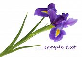 image of purple iris  - Purple iris flower - JPG