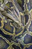 foto of burmese pythons  - Close - JPG