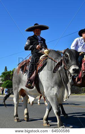 Parading Bull