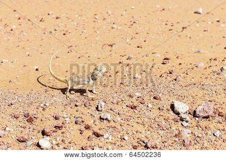 Lizard In Oman Desert (oman)