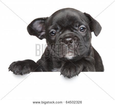 Puppy Above White Banner