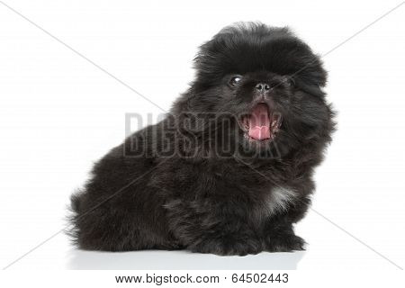 Pekingese Puppy Yawns