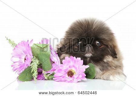Pekinese Puppy In Flower
