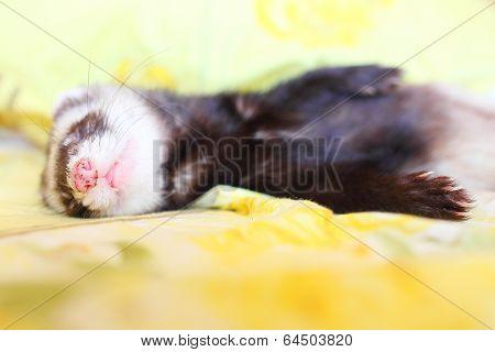 Sleeping funny ferret