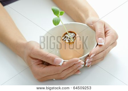 Plant shoot in eggshell in bowl in table cupped by manicured female hands. White background, nature protection, nurture, enviroment awareness.