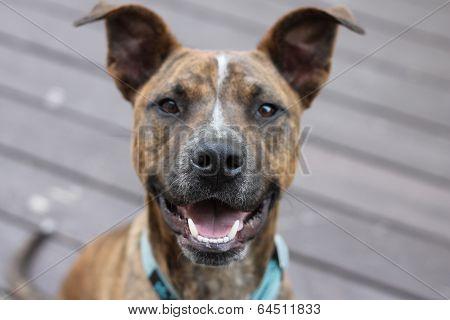 Happy Pit Bull Boxer Mix Dog
