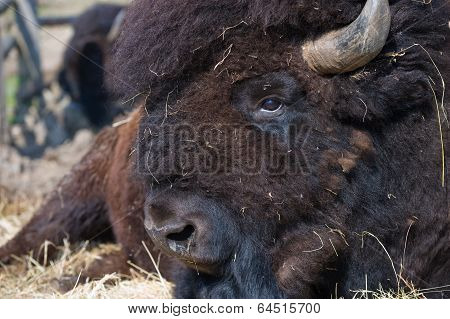 North American Bull
