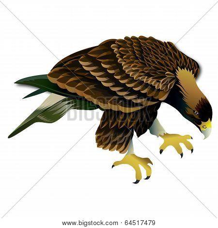 Hawks vector