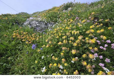 Clifftop flowers at Lizard Point