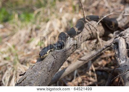 Black Racer Snake or Schrenck's rat snake (Elaphe schrenckii) lying on a branch in their natural habitat. Length of about 170 cm.