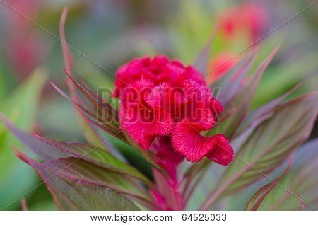Cockscomb Flowers
