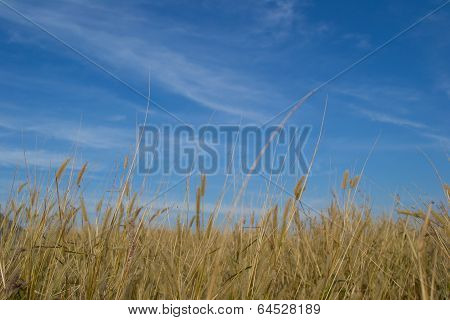 Pennisetum pedicellarum weed plant flower and blue sky