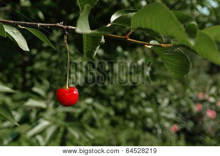Lonely Cherry On A Branch