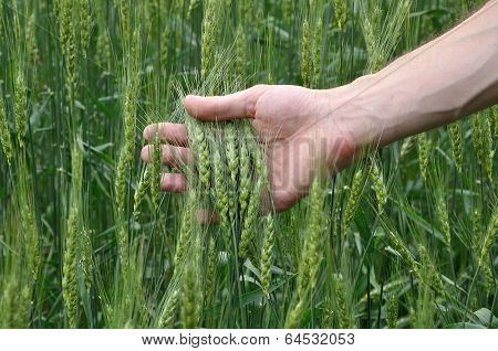 Man's Hand Holding Spicas Of Wheat