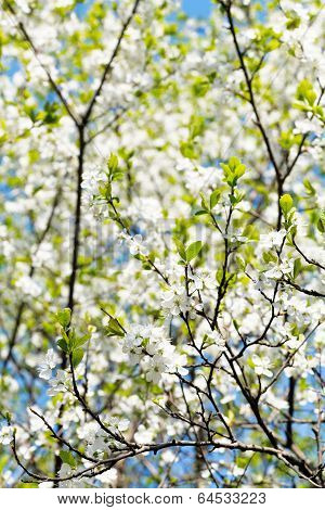 Cherry Twig And White Blooming Cherry Tree Crown