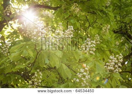 Flowering chestnut tree (Aesculus hippocastanum) with sun