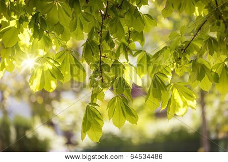 Leaves of a chestnut tree (Aesculus hippocastanum) with rays of sun