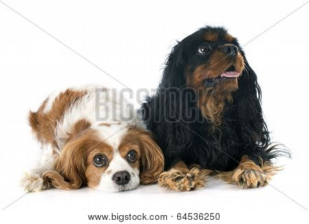 Two Cavalier King Charles