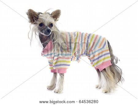 Dressed Chinese Crested Dog