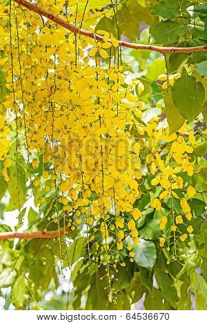 Flowers Of Golden Shower