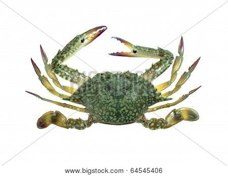 Blue Swimmer Crab Isolated