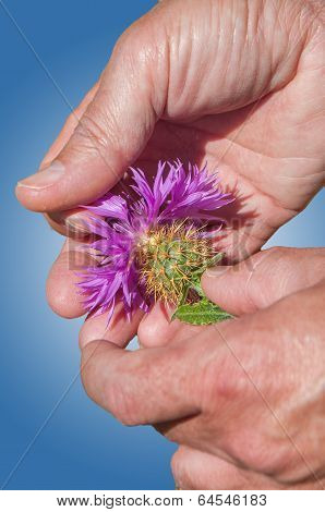 Centaurea Flower On Hands