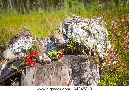 Hunting Hazel Grouse Bird
