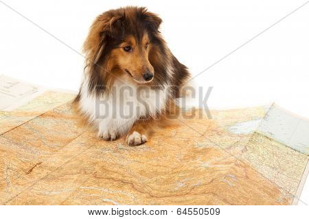 Shetland sheepdog sitting on map over white background