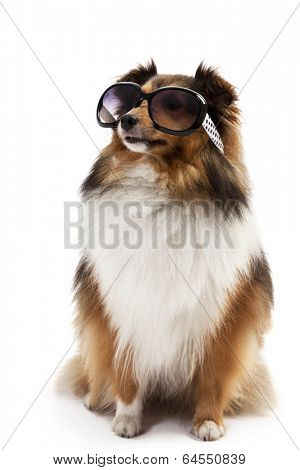 Portrait of a shetland sheepdog wearing sunglasses isolated over white background