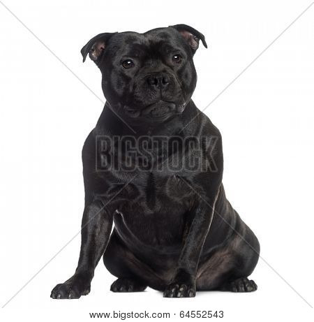 Staffordshire Bull Terrier sitting (2 years old)