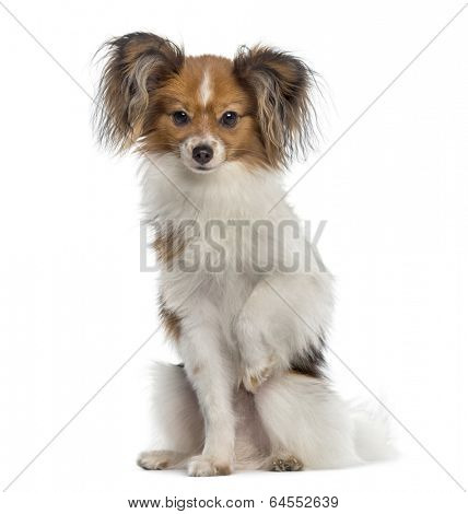 Continental Toy Spaniel sitting (8 months old)