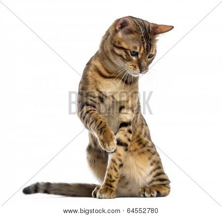 Bengal (11 months old) sitting, pawing and looking down