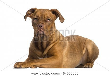 Dogue de Bordeaux lying down (8 months old)