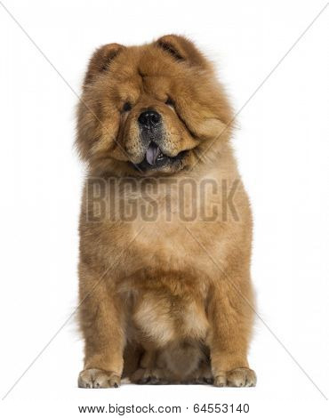 Chow Chow sitting (3 years old)
