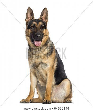 German Shepherd Dog sitting and panting (1 year old)