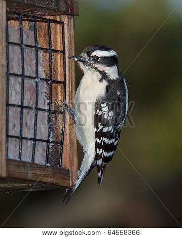 Woodpecker And Suet