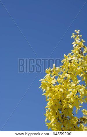 Forsythia And Blue Sky Background