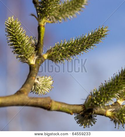 Willow a sprig with green catkins