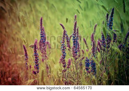 Violet  meadow flower