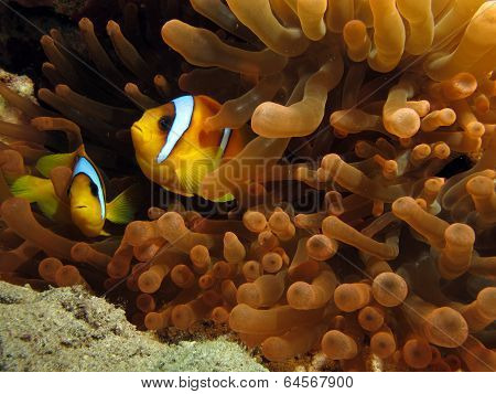 Red Sea anemonefish
