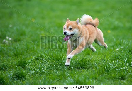 Jumped Dog Shiba Inu On Grass