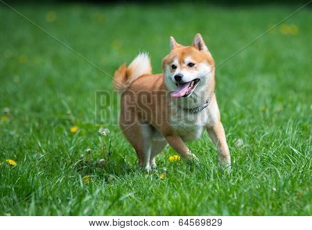 Jumped Dog Shiba Inu On Grass